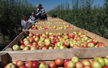 Импорт яблок в Украину вырос в шесть раз